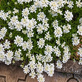 Outsidepride Candytuft Iberis Sempervirens Plant Seed - 1000 Seeds