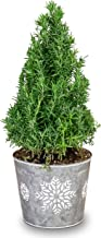 Live Rosemary Miniature Christmas Tree in an Embossed Snowflake Tin - Live Tree - Fragrant & Flavorful
