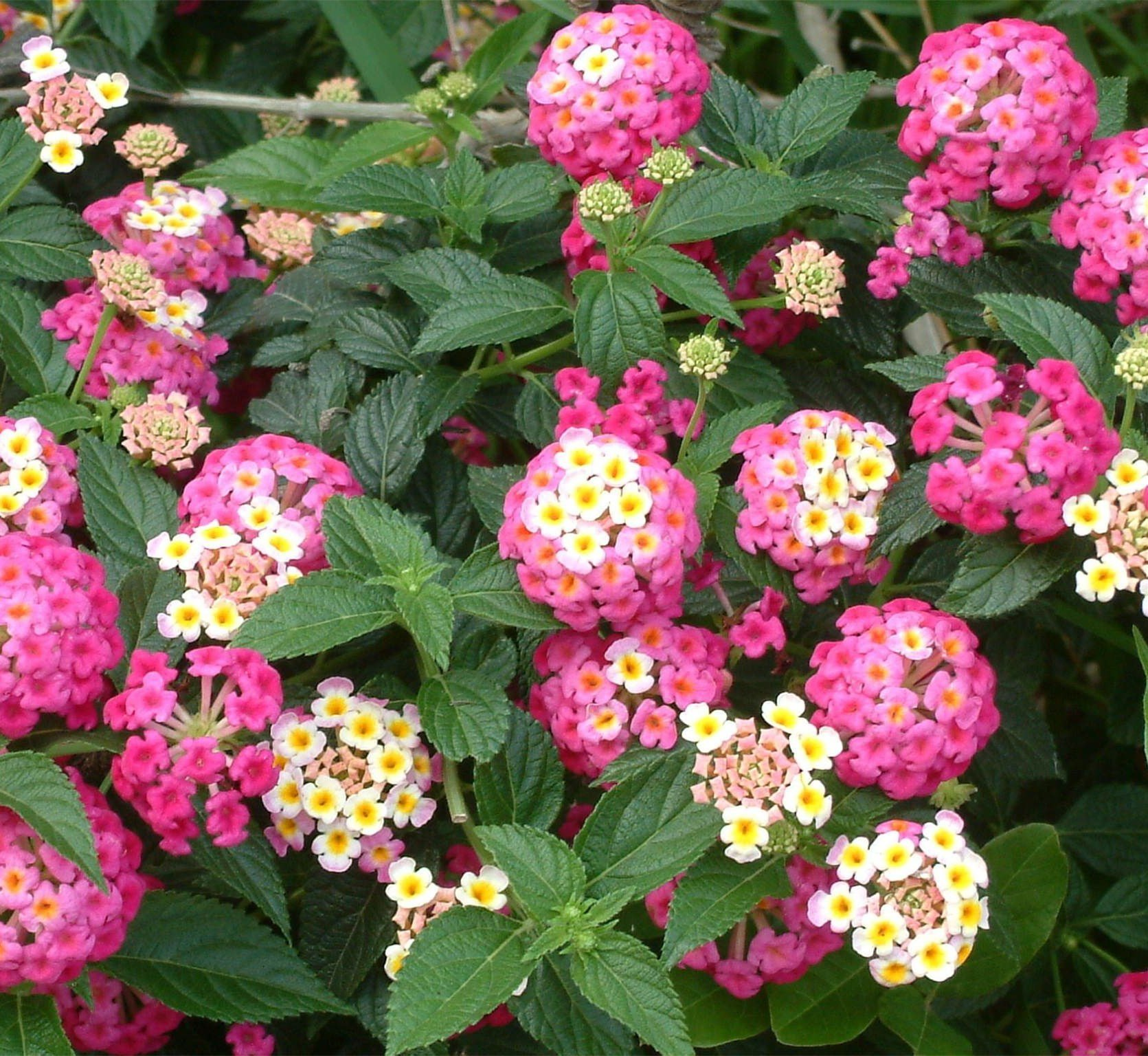 30 Beautiful Colorful Lantana Camara Flower Seeds Buy Online In Barbados Missing Category Value Products In Barbados See Prices Reviews And Free Delivery Over Bds 150 Desertcart