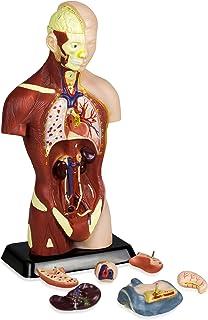 Vision Scientific VAT105 Sexless Human Torso | 7 Removable Parts | Displays Respiratory, Circulatory, Digestive, Nervous, ...