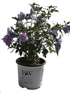 Proven Winners Blue Chiffon Rose of Sharon - Hibiscus S. Blue Chiffon - 3 Gallon
