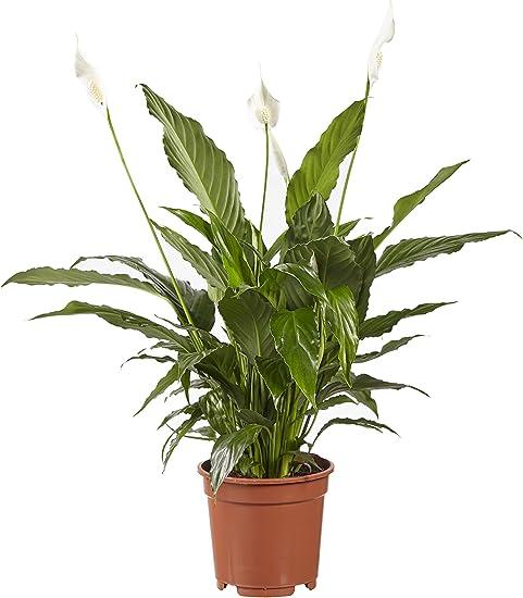 plante dépolluante spathiphyllum)