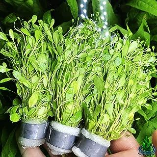 Greenpro Glossostigma Elatinoides 3-Bunch Freshwater Live Aquarium Plants Carpet Tank