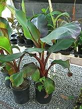 Live Plant 7-9 Inch Ensete Maurelii Red Abyssinian Banana Tree Plant Graga01