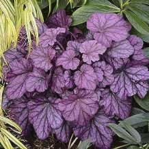 Heuchera Primo Wild Rose Vibrant Purple Coral Bells 3 Inch Pot 1 Live Potted Plant Og003