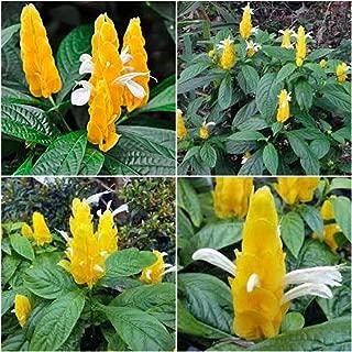 Pachystachys Lutea - Yellow Shrimp Plants An002