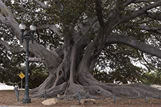 24 x 36 Giclee Print of Santa Barbara's Moreton Bay Fig Tree Located in Santa Barbara California is Believed to be The Largest Ficus macrophylla in The Country r36 41395 by Highsmith, Carol M.