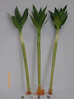3 Stalk of Lotus Flower Lucky Bamboo