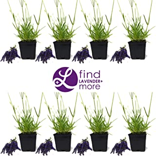 Findlavender - Lavender GROSSO (Dark Purple Flowers) - 4
