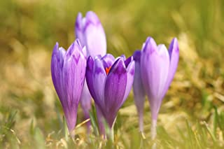 30 Saffron Crocus Bulbs--fall Blooming, Grow Your Own Saffron Spice! Plant Now for Fall Blooms!