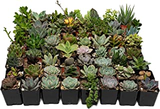 64 Unique Succulent Collection- No Two Plants are Alike, Brighten Up Your Garden with A Variety of Succulents - by Jiimz