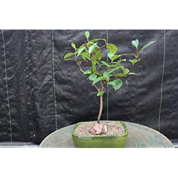 Amazon Com Flowering White Jasmine Bonsai Tree Garden Outdoor