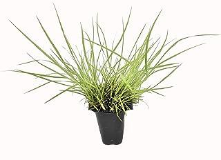 Dwarf Fountain Grass - 5 Live Plants - Pennisetum Alopecuroides Hamelin - Cold Hardy