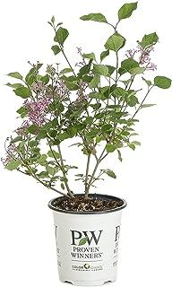 Bloomerang Dark Purple Reblooming Lilac (Syringa) Live Shrub, Purple Flowers, 4.5 in. Quart