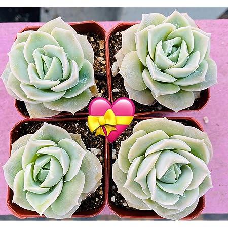 Plantas Suculentas 4 Piezas Echeveria Lovely Rose Totalmente Arraigadas En Maceta De 2 0 In Flores Suculentas De Rosas El Regalo De San Valentín Jardín Y Exteriores