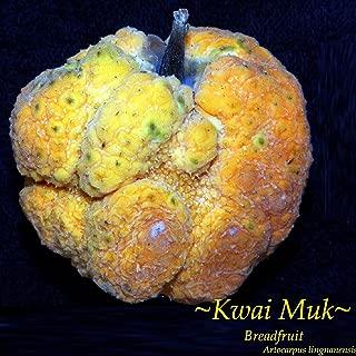 KWAI MUK~ Artocarpus hypargyraeus Rare Fruit Tree Live Small Potd Plant Starter