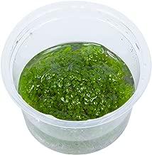 Tropica Elatine hydropiper Live Aquarium Plant - In Vitro Tissue Culture 1-2-Grow!