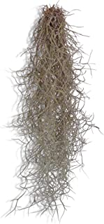 CTS Air Plants Tillandsia Usneoides Spanish Moss on Aluminum Wire