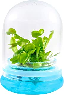 Venus FLY Trap, Fly Trap Carnivorous Plant, a FUN & Live Gift!