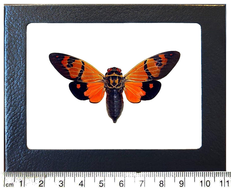 BicBugs OFFicial mail order Gaeana Festiva Orange Framed Black SEAL limited product Thailand cicada
