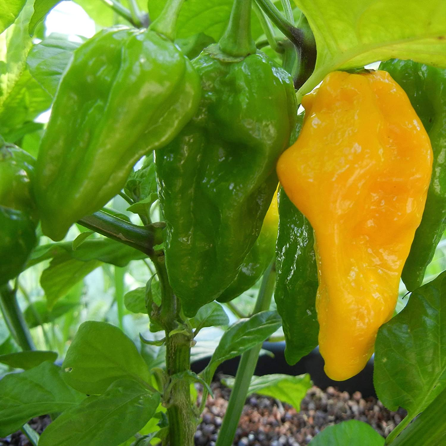 Wayland Surprise price Chiles Fatalii Yellow Seeds Spring new work one after another