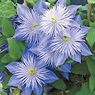 50 Light Blue Clematis Seeds Bloom Climbing Perennial Flowers Seed Flower Vine Climbing Perennial