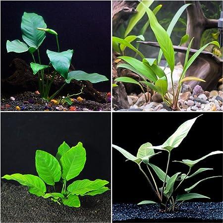 Anubias Bundle - 4 Species (Barteri, Wrinkle Leave, Cogensis, Hastifolia ) Easy Low Light Aquarium Plants - Snail Free Guaranteed