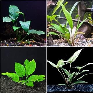 Anubias Bundle - 4 Species (Barteri, Wrinkle Leave, Cogensis, Hastifolia) Easy Low Light Aquarium Plants - Snail Free Guaranteed