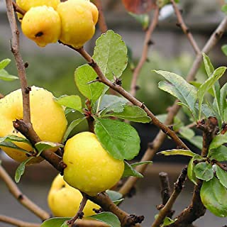 Japanische Quitte Chaenomeles japonica - 20 Samen