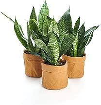 Shop Succulents   Sansevieria Snake 4