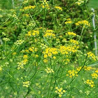 Bupleurum Seeds (Bupleurum falcatum) 100+ Rare Medicinal Herb Seeds