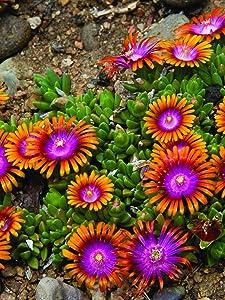 Perennial Farm Marketplace Delosperma 'Fire Spinner' (Ice Plant) Groundcover, 1 Quart, Bright Orange Petals with Purplish-Pink Centers