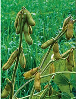 David's Garden Seeds Bean Soy Envy SL1055 (Green) 100 Non-GMO, Open Pollinated Seeds
