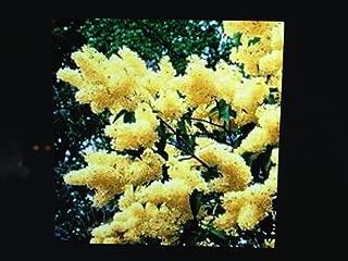 50 Yellow Lilac Seeds Shrub Blooms Flowering SHRUBS Trees Bushes