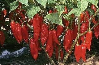 Hot Paper Lantern Pepper 50 Seeds