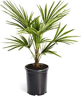 Windmill Palm Tree- Large Cold Hardy Palm Trees- Trachycarpus Fortunei- Big 1 Gallon or 3 Gallon Palms Available - 3 Gallon | No Shipping to AZ