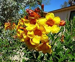 HOT - Bignonia Orange - Tecoma Highest - Bloom Spectacular 30 Seeds Fresh
