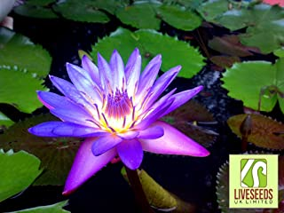 Liveseeds - 5 PURPLE Nymphaea Water Lily Pad Sp Pond Flower Seeds