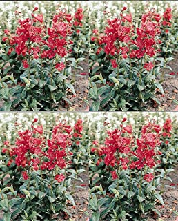 Penstemon Tubular Bells Red Annual Flowers Seeds 250 Pcs an