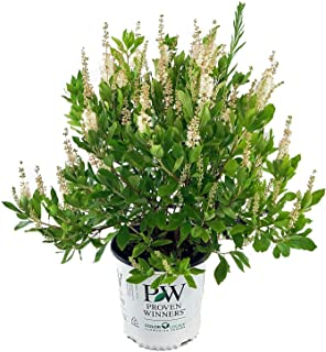 Proven Winners - Clethra aln. Sugartina (Summersweet) Shrub, white flowers, #2 - Size Container