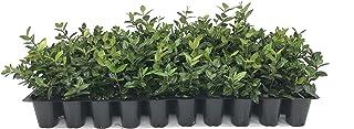Asiatic Jasmine Minima - 60 Live Plants - Trachelospermum Asiaticum - Drought Tolerant Cold Hardy Evergreen Ground Cover