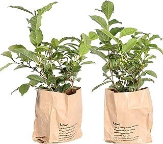 Elección de verde - Juego de 2 Camellia sinensis - Theeplant-Brown Bolsa