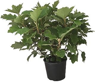 Alice Oak Leaf Hydrangea - Hydrangea Qu. Alice - 3 Gallon