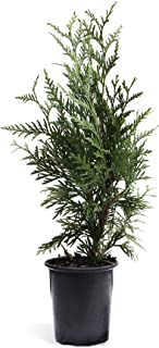Brighter Blooms - Thuja Green Giant Arborvitae Tree - Privacy Trees, 1-2 Feet - Cannot Ship to AZ