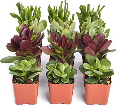 Shop Succulents | Good Luck Collection | Assortment of Hand Selected, Fully Rooted Live Indoor Jade Succulent Plants, 12-Pack