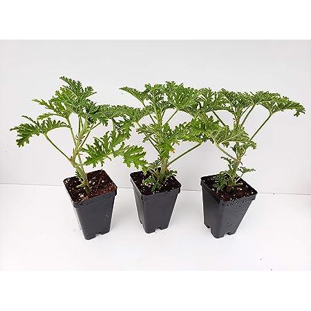 Live Citronella Starter Plants - 3 Pack of Citrosa Mosquito Plants - Signature Scented Geranium