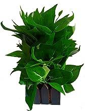 HYPERBOLES Artificial Green Money Plant Tree with Pot - 8 inch/20cm