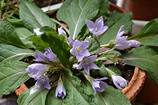 Best mandragora autumnalis seeds Reviews