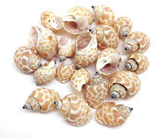 PEPPERLONELY 20PC Small Babylonia Spirata Hermit Crab Sea Shells, 1/2 Inch ~ 1 Inch