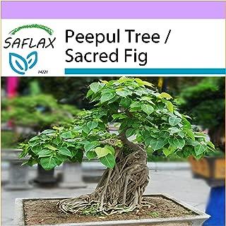 SAFLAX - Bonsai - Peepul Tree / Sacred Fig - 100 seeds - Indoor Bonsai - Ficus religiosa